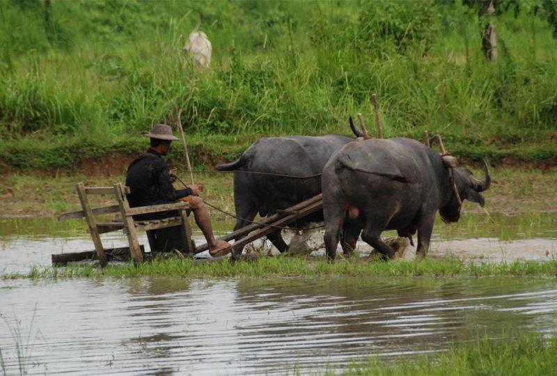 Bufali che tirano un aratro a slitta