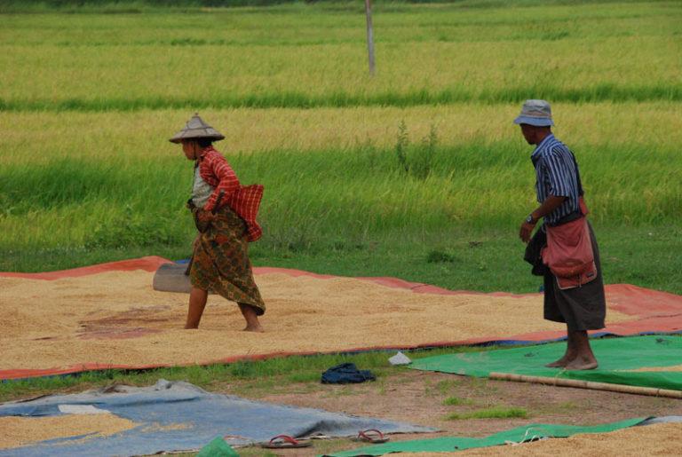 I birmani e il riso
