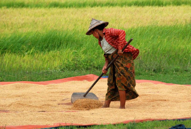 Una contadina che rivolta il riso per asciugarlo