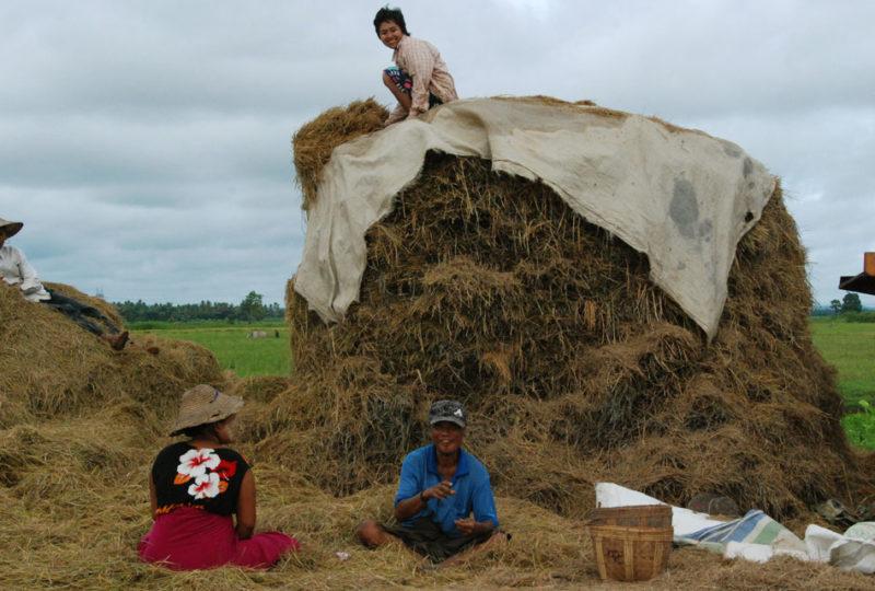 Covoni di paglia di riso