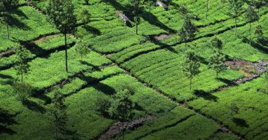 piantagioni Lipton