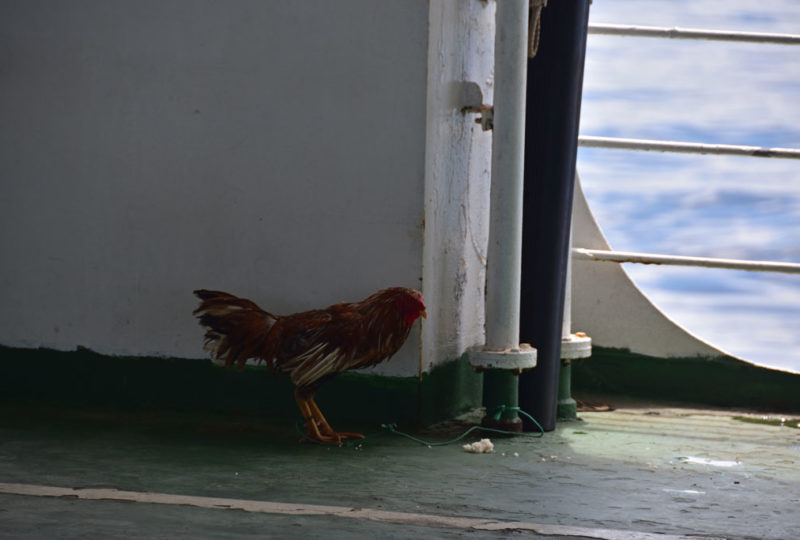 Un gallo (da combattimento?)