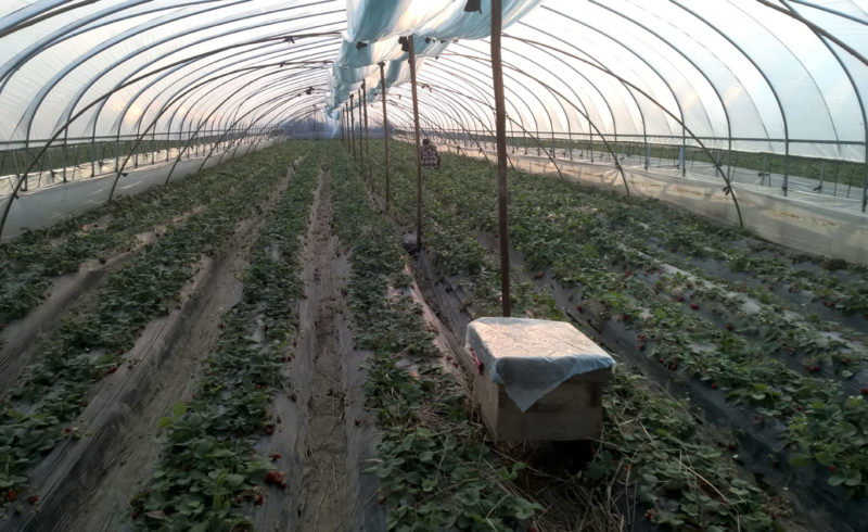 Strawberry fields… in Cina
