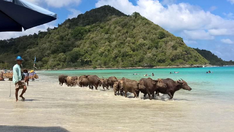 Bufali sulla spiaggia