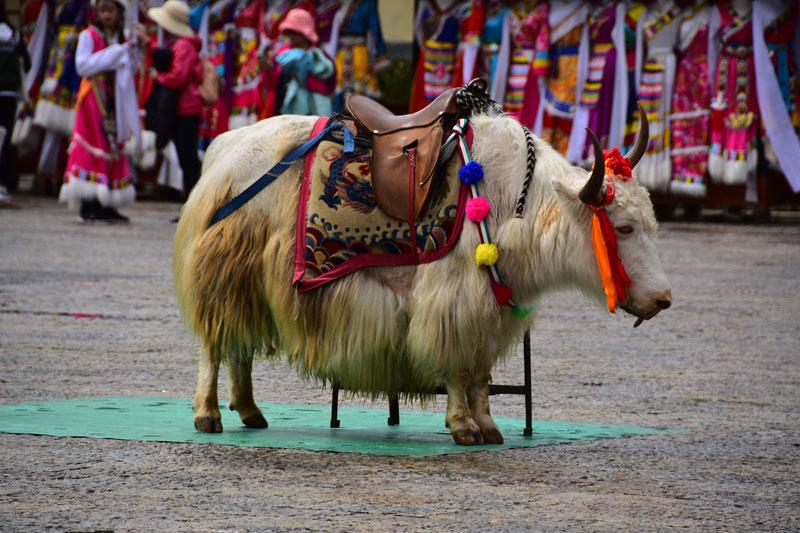 """Un yak in """"costume"""" tradizionale"""