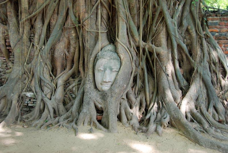 testa di Budda tra le radici