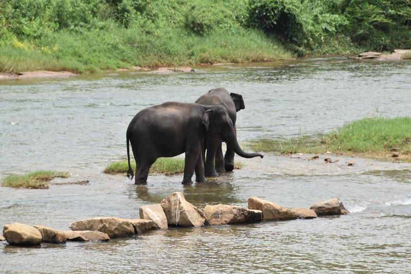 "Due elefanti tentano la ""fuga"" a Pinnawela"