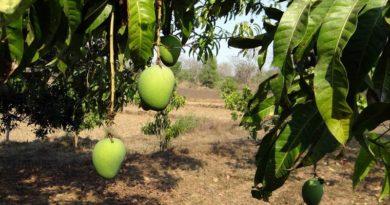 mango in Malesia