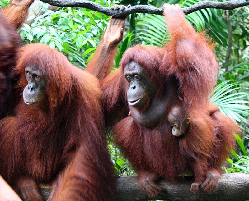 Alcuni oranghi dello zoo di Singapore