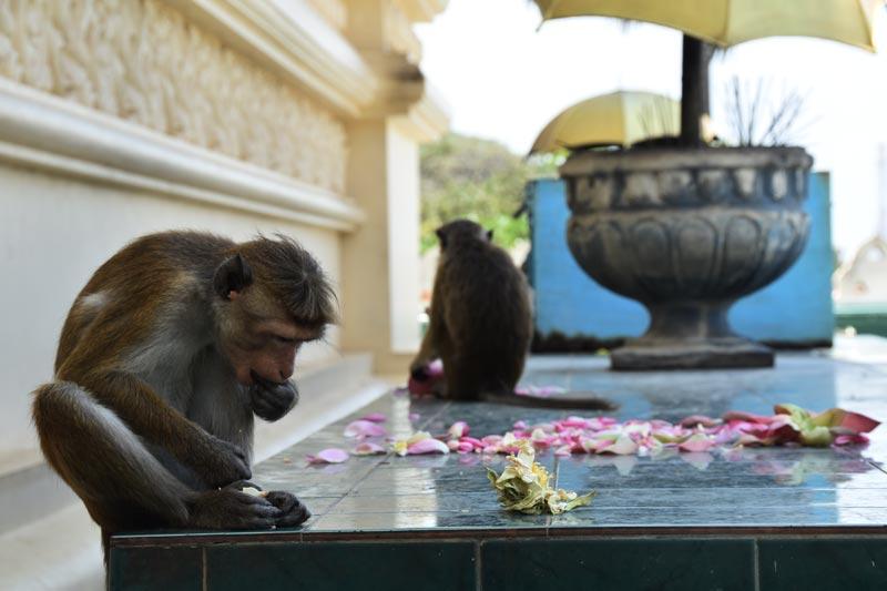 scimmie a dambulla