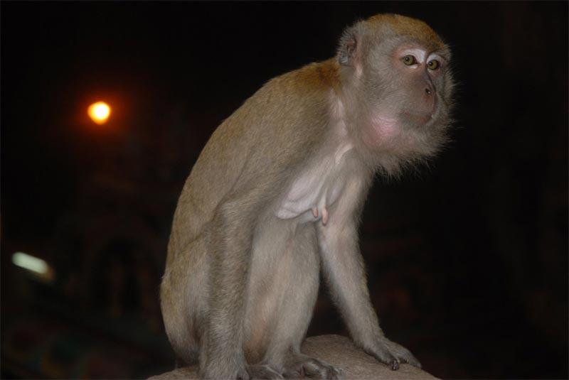 Una vecchia femmina di macaco alle Batu Caves